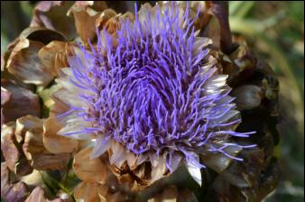 Flower Reiki 2, Kalifornische Blüten