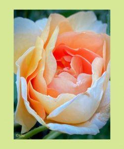 Rose Einweihung Seelenverbindung Silke Kitzmann