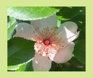 Rose Einweihung