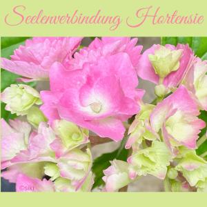 Hortensie Einweihung Pflanzenspirit