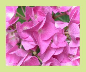 Hortensie, Einweihung, Pflanzenspirit